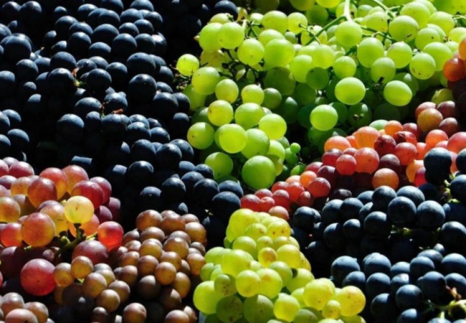 Grapes harvest 2020!