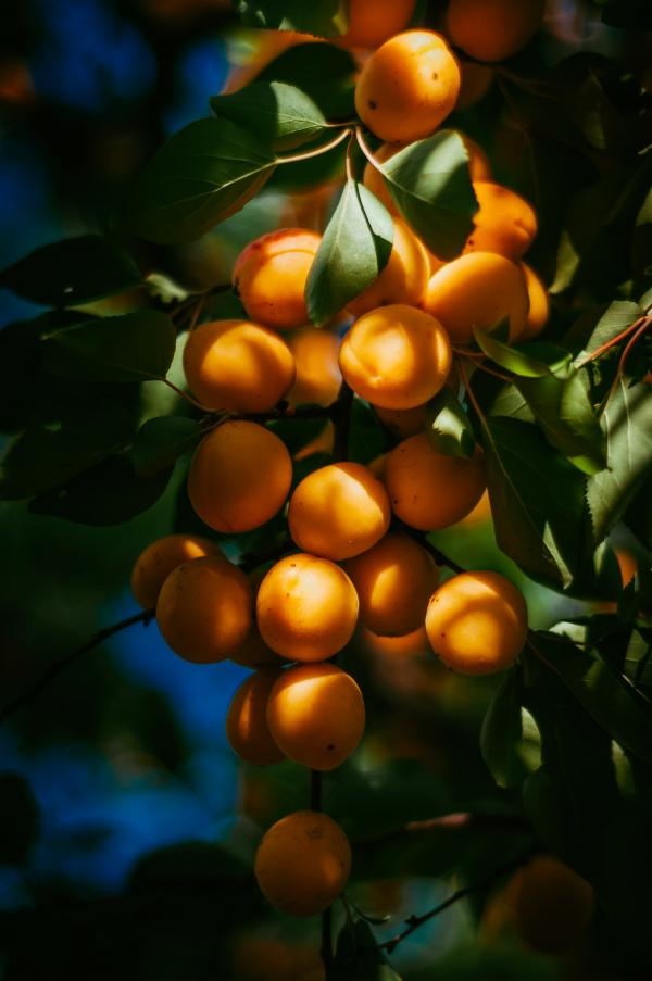 GOLD APRICOT